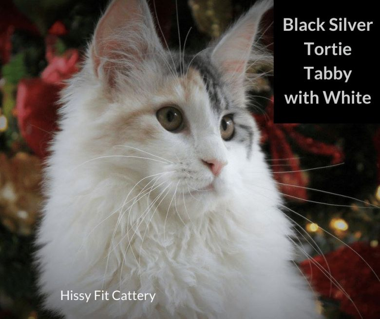 Black-Silver-Tortie-Tabby-with-White