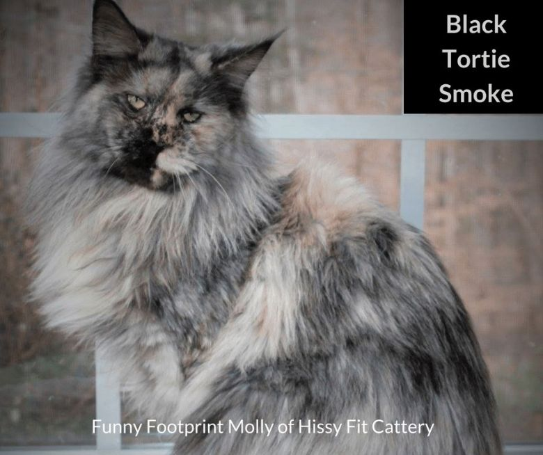 Black-Tortie-Smoke