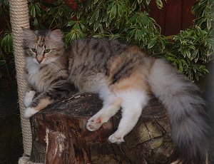 Black Tortie Spotted Tabby and White