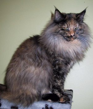 Black Tortoiseshell a lighter coloured coat