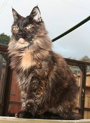 Black Tortoiseshell showing brindled coat