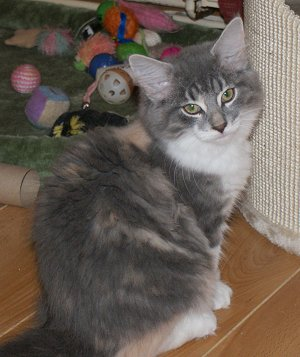 Blue Cream Tortie Tabby and White