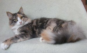 Blue Tortie Blotched Tabby and White