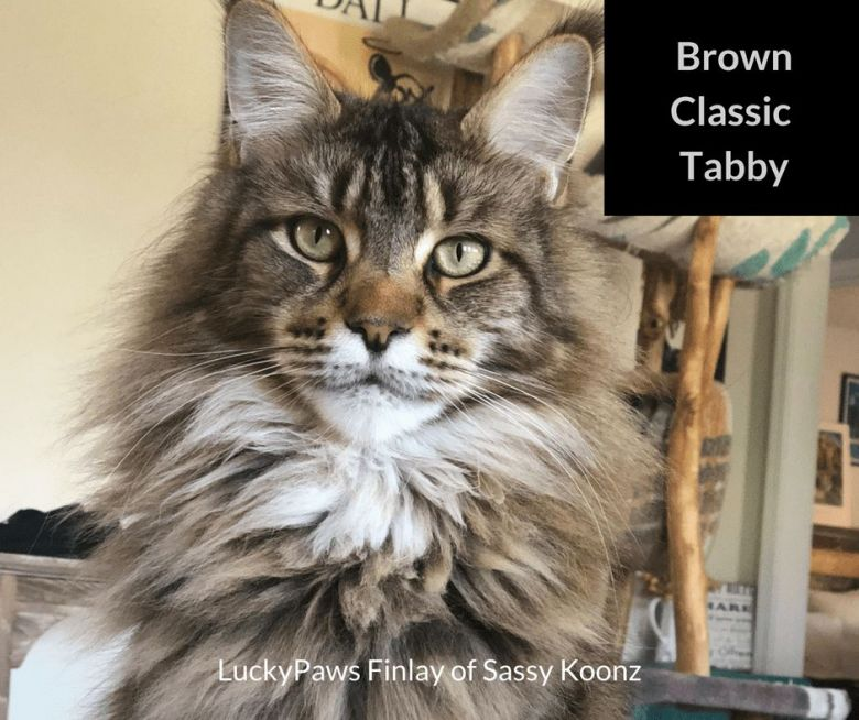 Brown-Classic-Tabby