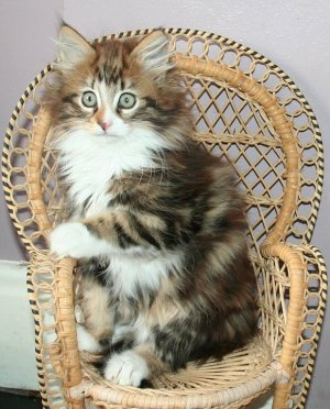 Brown Classic Tabby and White Kitten