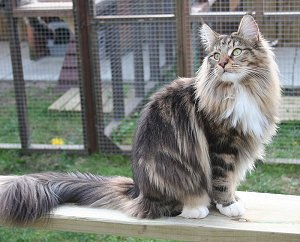 Brown Classic Tabby with White