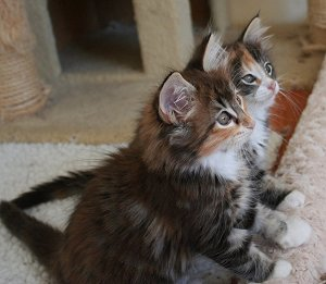 Brown Classic Tortie Tabby and White kittens