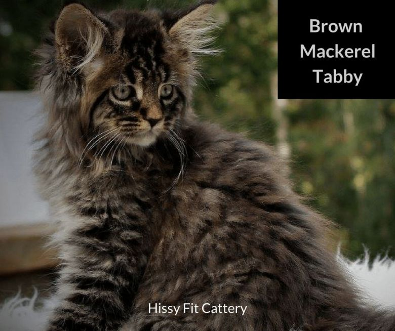 Brown-Mackerel-Tabby