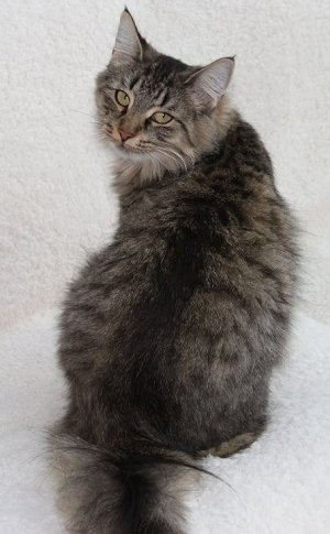 Brown Mackerel Tabby showing line along spine