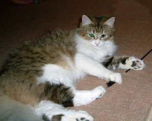 Brown Spotted Tabby with White