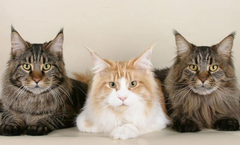 Maine Coon Coat