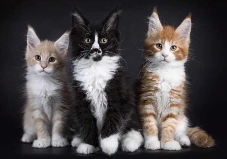 Maine Coon Kitten Size