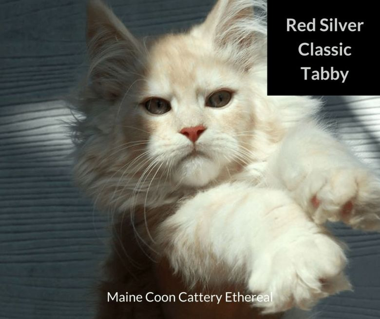 Red-Silver-Classic-Tabby