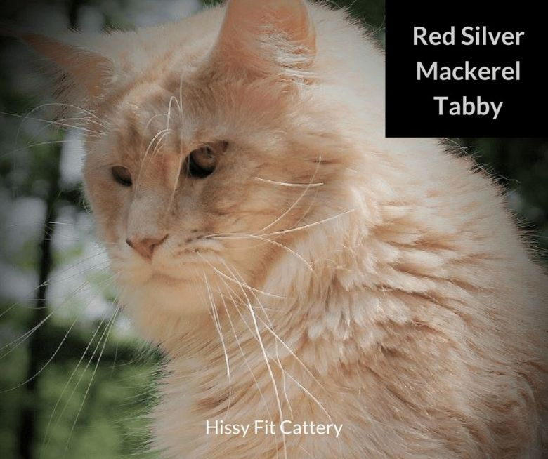Red-Silver-Mackerel-Tabby
