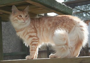 Red Silver Mackerel Tabby