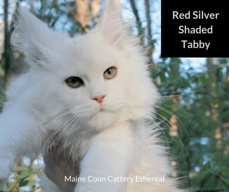 Red-Silver-Shaded-Tabby