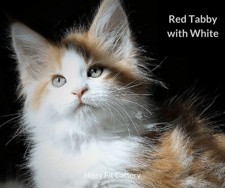 Red-Tabby-with-White