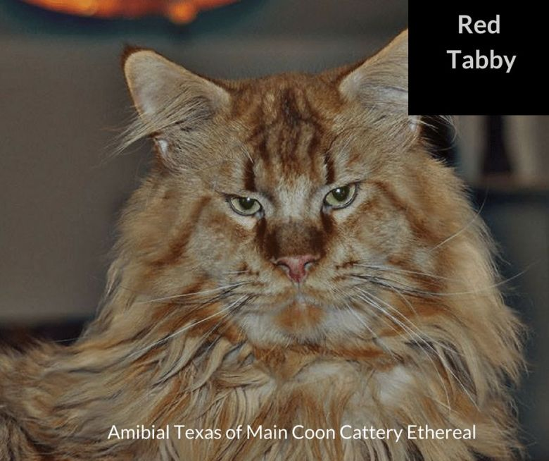 Red-tabby