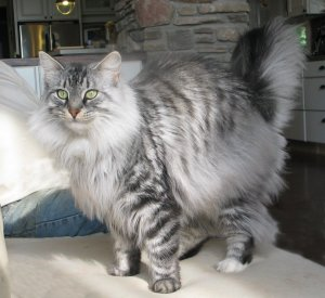 Silver Mackerel Tabby and White