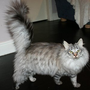 Silver Spotted Tabby